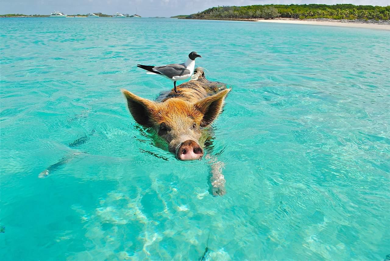 Bahamas zwemmen varkens